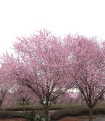 Pink Plum Trees