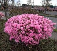 Pink Azaelas