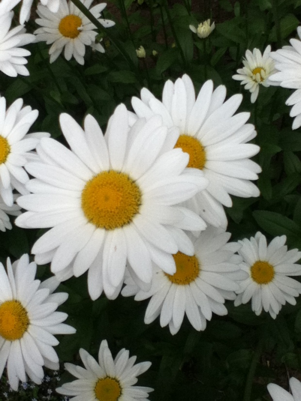 Daisies--quote by Nadine Stair